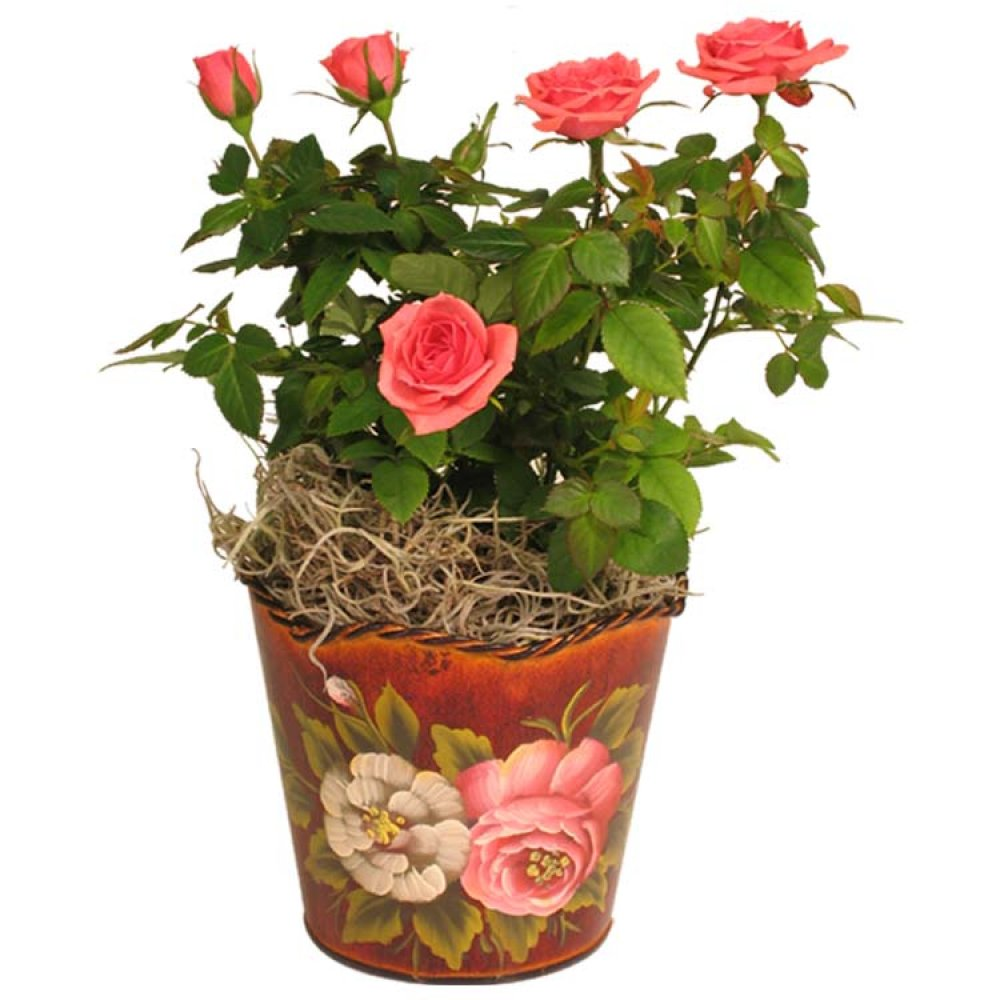 Live Plant - Tea Rose Planter 4 Inches - with Roses