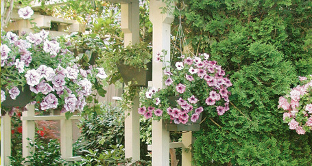 Maintaining Hanging Baskets Maintaining Hanging Baskets