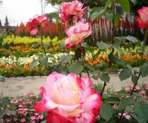 rose garden Growing and Maintaining Healthy Roses
