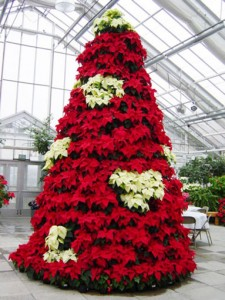 33 225x300 Christmas Plants for Decoration